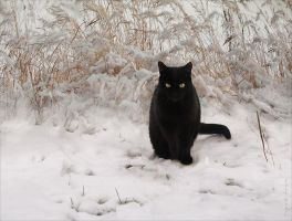 Winter cat by Csyyt