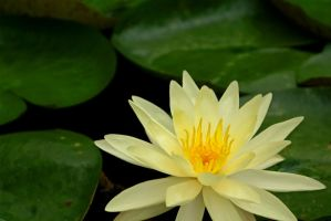 Water Lily by MLStock