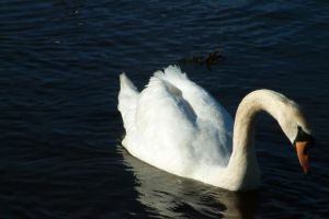Solitary Swan by TwilightProwler