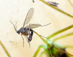 Zelus eating a Fungus Gnat..upclose by duggiehoo