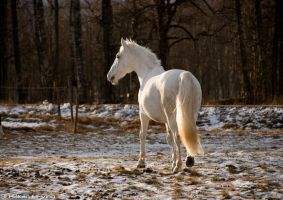 The white horse by Elfvingphotography