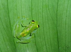 Glass frog by Mallophora