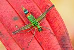 Monkey Grasshopper by ColinHuttonPhoto