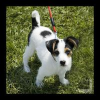 Jack Russel puppy by ntora