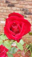 Lady Diana Belle Rouge Graft by rabbithat8