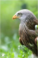 2011-15 Red Kite and Green by W0LLE