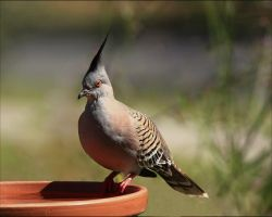 Australian Crested Pigeon by Firey-Sunset