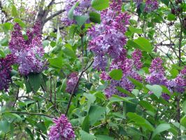 Lilacs 2 by vampire-rocker