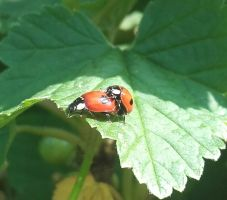 Two Spot Ladybird Action by S4MMY4RT