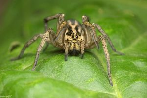 Wolf spider by Dark-Raptor
