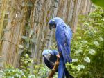 Blue Macaws 2 by Cloud9Necco