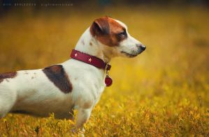 Jack Russell Terrier by Nightmare-v