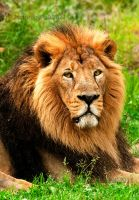 The Asiatic Lion by PictureByPali