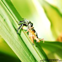 Spider eat grasshopper by powerlogical