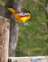 Male Oriole Jumping by loopyker-stock