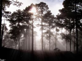 Pine trees in the mist by Kaslito