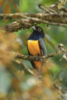 Violaceous Trogon by robbobert