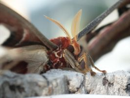 Attacus atlas close-up by TheRealForseti