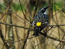 Yellow-rumped Warbler by AppleBlossomGirl