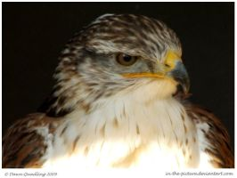 Ferruginous Buzzard by In-the-picture