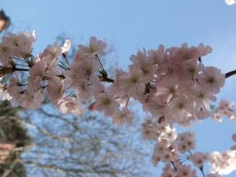Cherry Blossoms by Joran-Belar