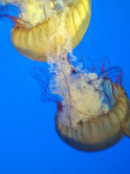 Jellyfish by Dalsih
