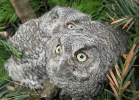 Western Screech Owl Siblings 2 by Ciameth