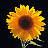 Backlit Sunflower by andras120