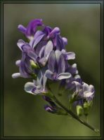 Alfalfa Colors 2 by barcon53