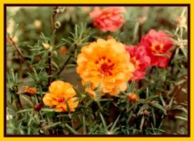 Portulacas by bewilderedconfused