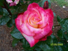 pink rose by kimmie456