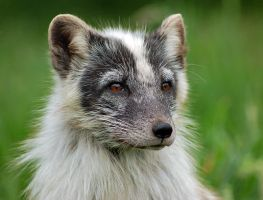 Arctic Fox by fremlin