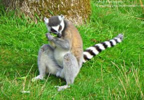 Ring Tailed Lemur 2 by Soul-Reader