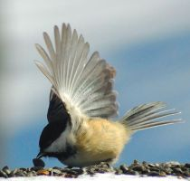 "Chickadee ""In Motion"" by Hutch1"