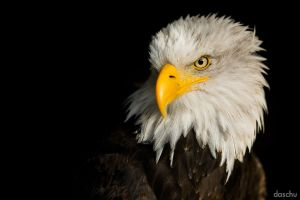 Bald Eagle / Weisskopfseeadler by DaSchu
