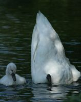 Swans: But(t) Daaad! by Tarquinia