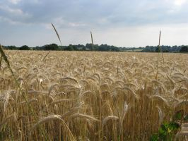 Grain field Stock 1 by Sassy-Stock