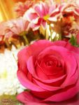 ~The Last Rose Of Summer~ by Sonicgirl582