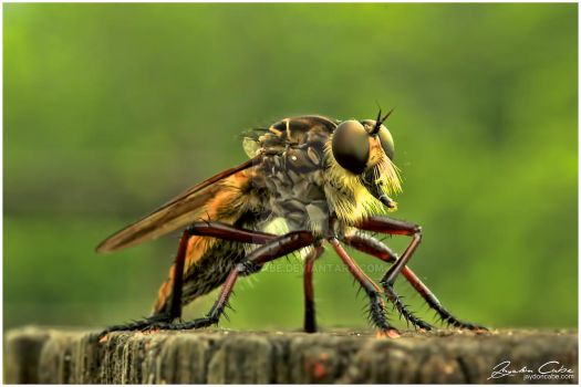 Walter the Robber Fly by jaydoncabe