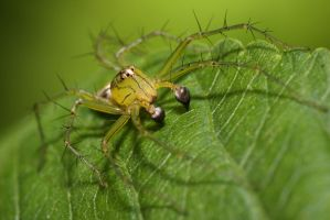 Oxyopes sertatus by fire