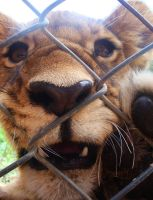 Lion Cub Fence by Shapony
