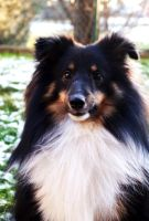My Sheltie Torry Winter 2012 by DucatiDeluxe