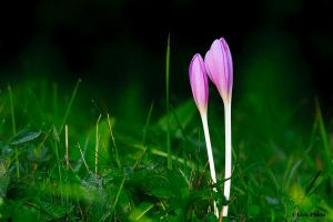 Colchicum autumnale 2 by lica20