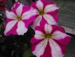 Pink and White Petunias Photo by SamuelEarl666