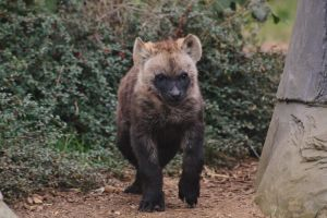 Baby Hyena Trot by LeahPardoe
