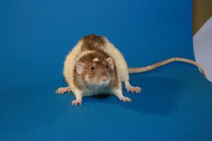 Roze the rat by szorny-stock