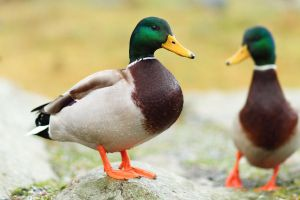 Two Quackers by janernn
