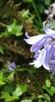 STOCKPHOTO bluebell by MaureenOlder