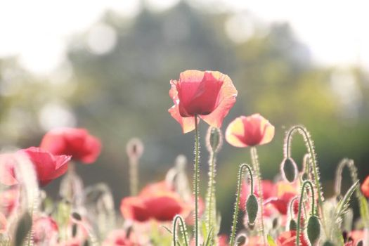 corn poppy by sweetsparty