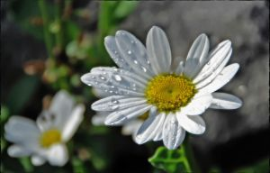 Raindrops on Daisies by mikelly